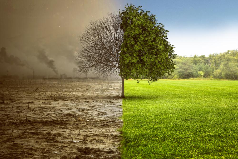 drzewo które z jednej strony jest zielone a z drugiej jest uschnięte