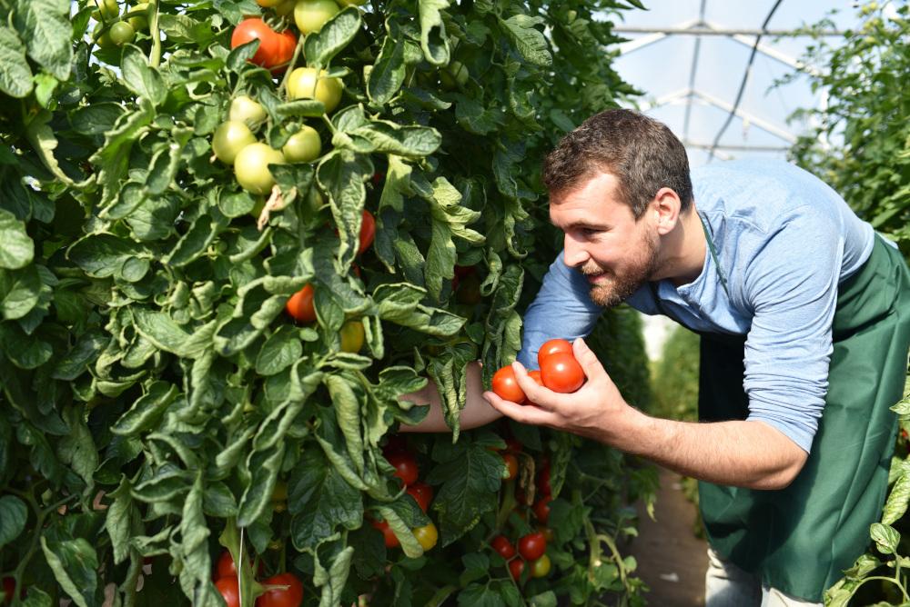 mężczyzna zbierający jabłka w sadzie