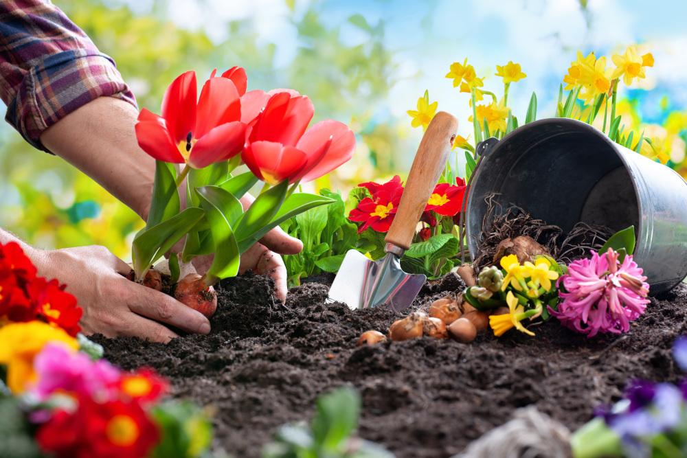 sadzenie tulipanów w ogrodzie przez kobietę